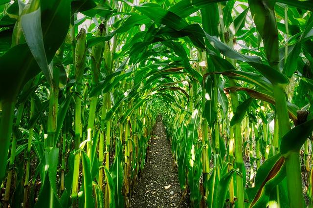 Jak ugotować kukurydzę 3